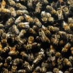 пчелиный подмор польза