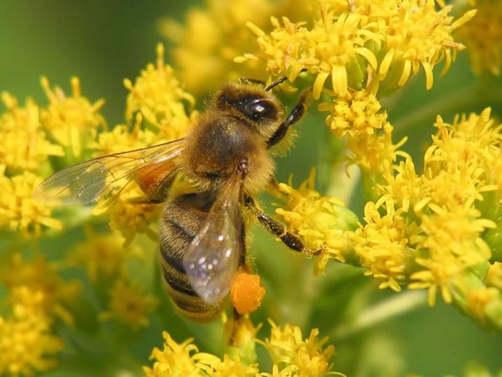 пчелиная пыльца польза и вред