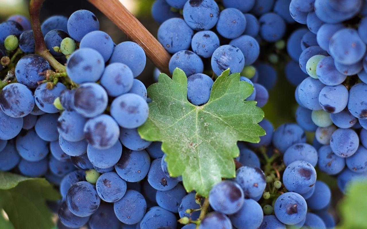 черный виноград польза и вред