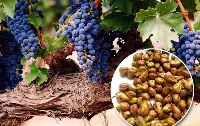 виноградные косточки польза и вред