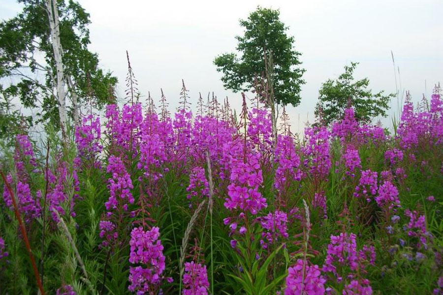 фото растение иван-чай