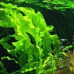 морские водоросли польза и вред