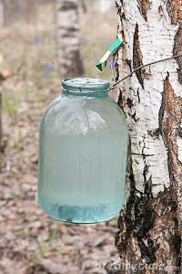 березовый сок польза и вред