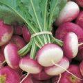 Turnip_06-150x150-1