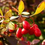 barberry_03-150x150