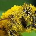 bee_pollen_01-150x150