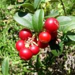 cowberry_08-150x150