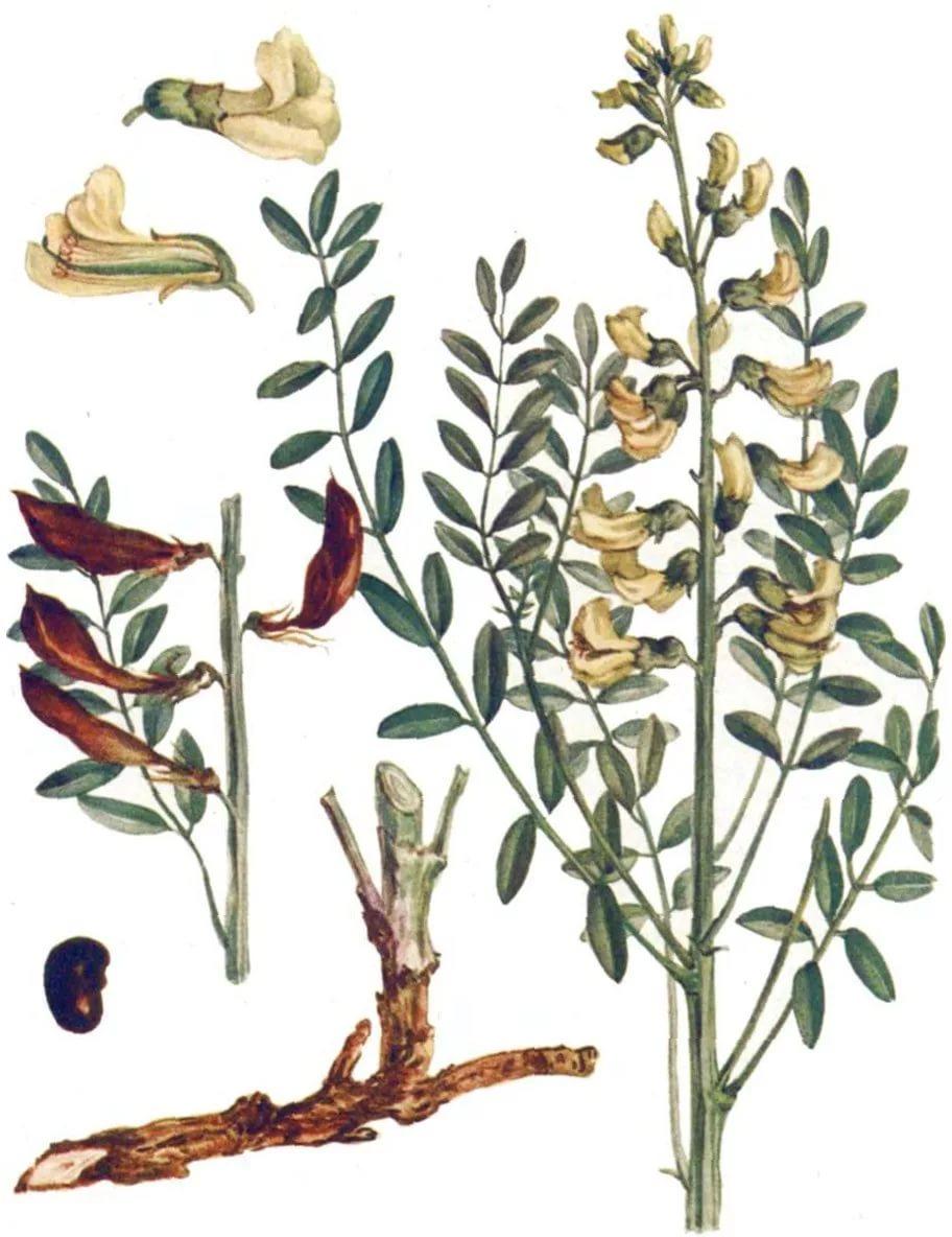 Цветы софоры лечебные свойства